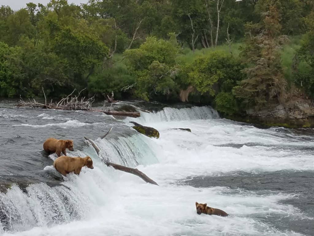 Grizzly bears fishing for salmon in a river at a small water fall